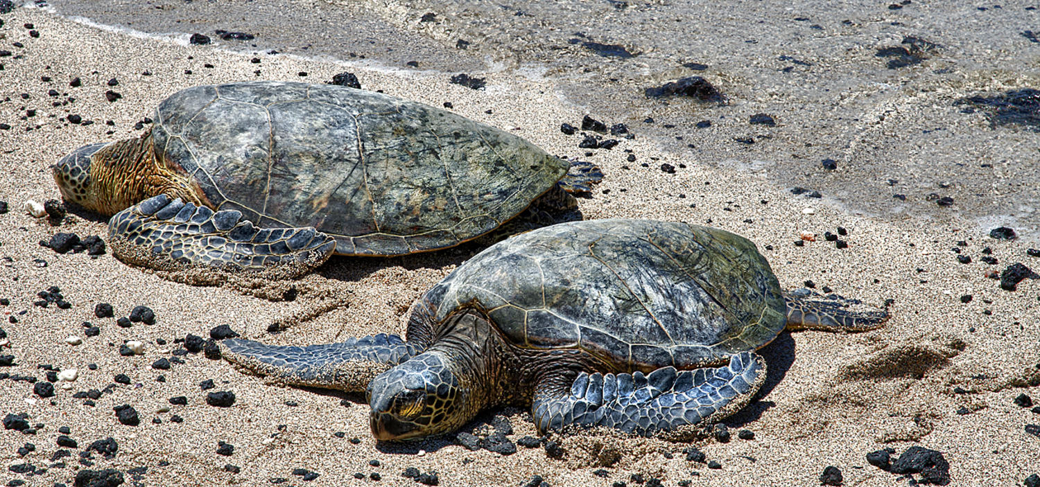 Kolea 2F-large-029-29-Two Sea Turtles-1500x703-72dpi